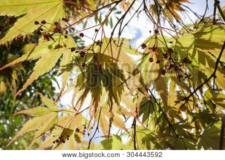 A View Of The Sky, The Yellow Leaves Of A Japanese Maple (acer Palmatum).