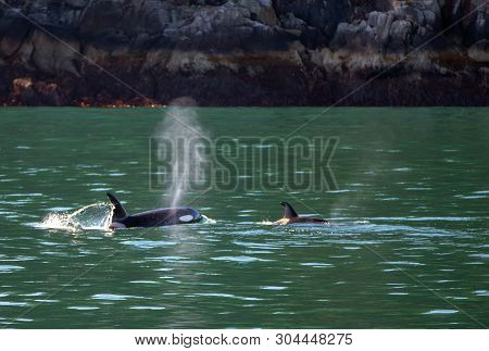 Mother Orca Killer Whale Spouting While Next To Baby Calf In Kenai Fjords National Park In Seward Al