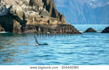 Orca Killer Whale In Resurrection Bay In Kenai Fjords National Park In Seward Alaska United States