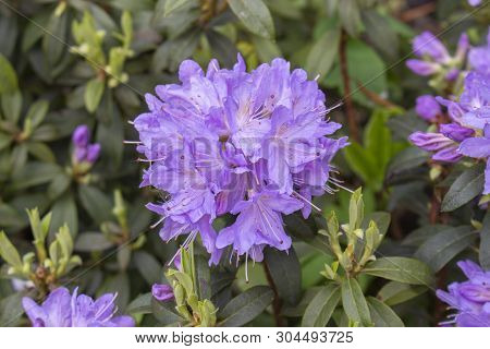 Lilac Purple Rhododendron Large Round Ball Flower Inflorescence. Blooming Rhododendron Beautiful Del