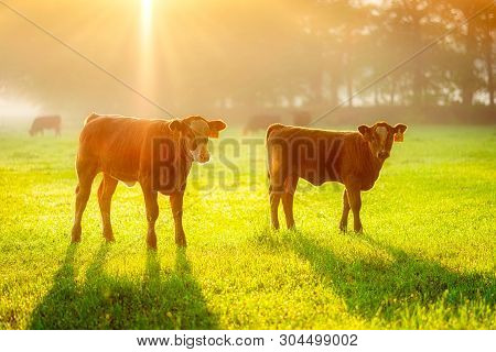 Two Calves In The Golden Sunny Morning. Foggy Mood On The Meadow.