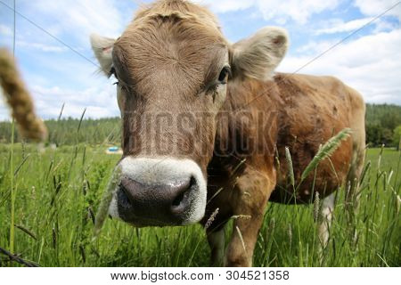 Cow. A beautiful cow in a green field or pasture. Milk Cow outside on a farm.