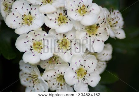 Detail of known as the midland hawthorn,English hawthorn, woodland hawthorn or mayflower.It is a large shrub or small tree growing to 8 metres or rarely to 12 metres  tall, with a dense crown. The leaves are 2-6 centimetres  long and 2-5 centimetres broad poster