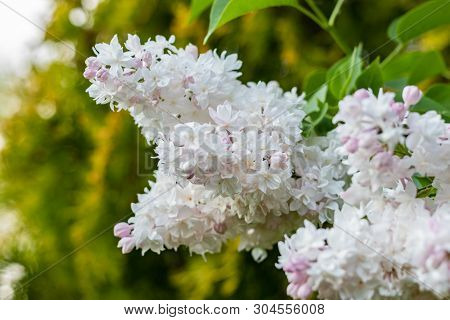 Bright Blooming Tree Branch In A Spring Morning Garden. Close Up
