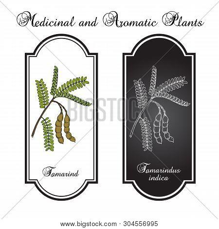Tamarind Tamarindus Indica , Or Indian Date, Medicinal Plant. Hand Drawn Botanical Vector Illustrati
