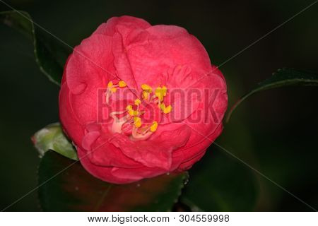Image Of A Pink Camellia Flower Showing Anthers And Stamens