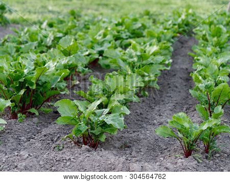 Growing Vegetables In The Ground. Red Beetroot