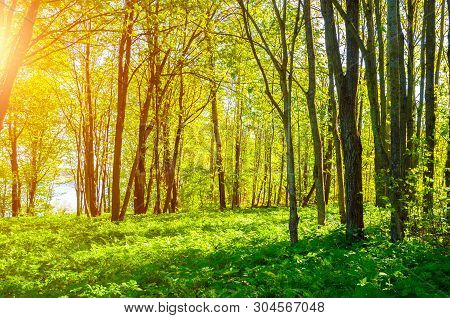 Summer forest landscape in sunny weather. Forest summer trees under soft sunlight. Forest summer nature in sunny summer day