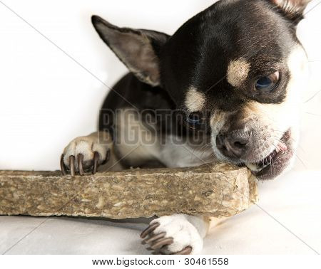 Small Chihuahua eating a very large bone. Isolated on white background poster