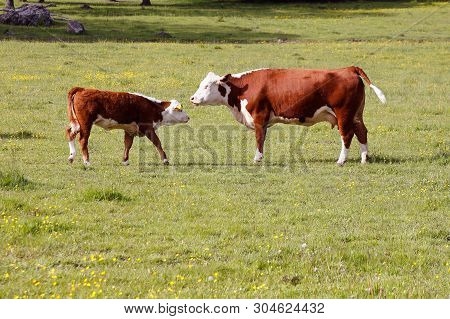 Cow And Calf Face To Face In A Field.