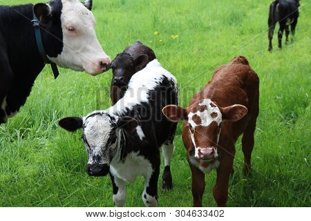 Head And Face Of Roan Cow Checking On Two Newborn Calves In The Meadow