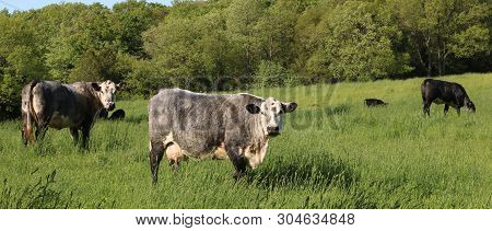 Roan Cows With Their Calves Grazing In The Field
