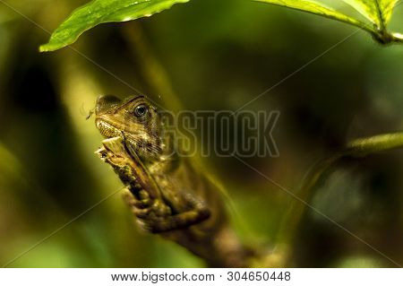 View Of A Gekko Lizzard Standing Alone In A Branch In Ecuadorian Jungle