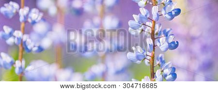 Lupin Flowers, Lupinus Polyphyllus, At Summer Field With Blue, Pink And Purple Flowers. Close Up, Ma