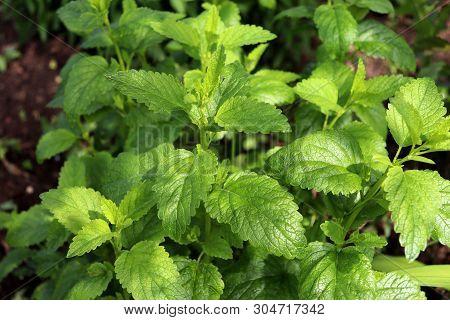 Lemon Balm Melissa Officinalis Is A Perennial Herbaceous Plant .the Leaves Have A Mild Lemon Scent.t