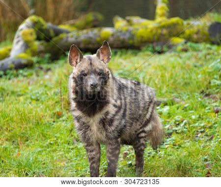 The African wild dog (Lycaon pictus) has many names and is also known as the painted hunting dog, painted wolf, African hunting dog, Cape hunting dog or African painted dog poster