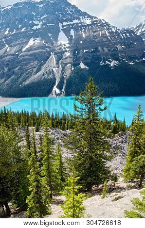 Beautiful Pines And Turquoise Water Of A Mountain Peyto Lake Against The Backdrop Of Majestic Mounta
