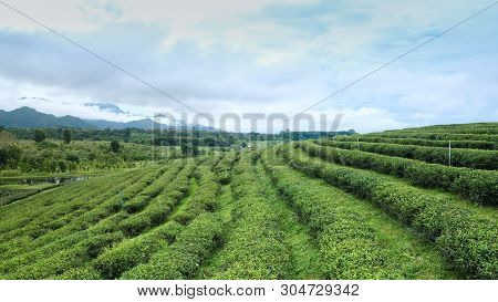 Landscapes Of Green Tea Plantation Oolong Tea Plantations. Chui Fong In Chiang Rai In Northern Thail