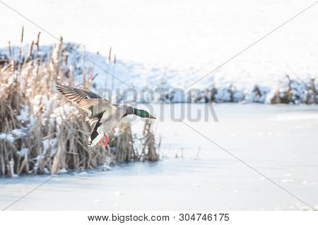 Male Duck Coming In To Land On A Fraozen Lake