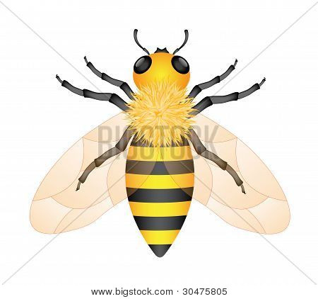 Illustration of honey bee isolated on white background poster