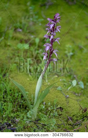 Beautiful Himantoglossum Robertianum, Wild Orchid Flower From The Flora Of Cyprus.