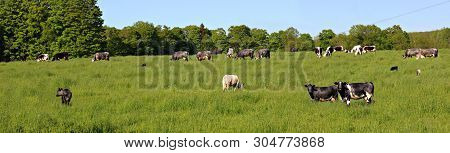 Panoramic View Of Herd Of Multi-colored Roan Cows With Their Calves Grazing In The Field