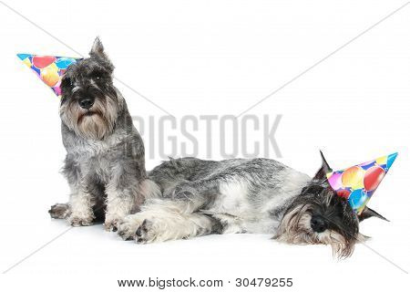 Two Schnauzers after party