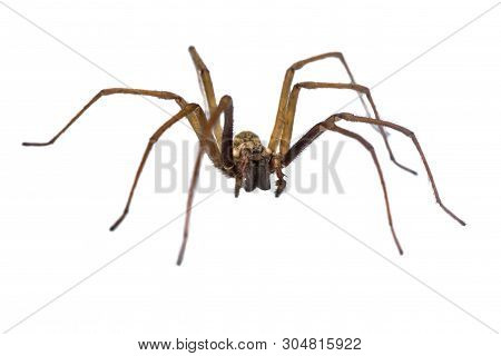Giant House Spider (eratigena Atrica) Frontal View Of Arachnid With Long Hairy Legs Isolated On Whit