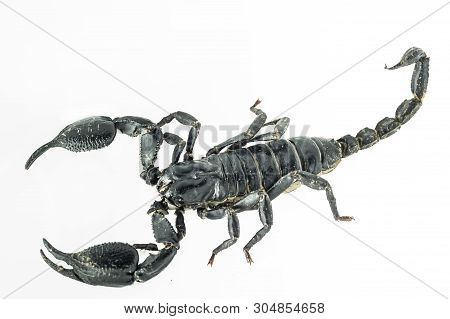 Scorpion On Background Color White