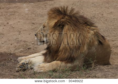 König der Löwen In der Serengeti