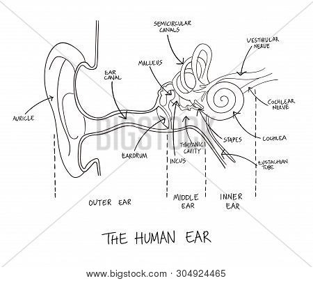 Hand Drawn Illustration Of Human Ear Anatomy. Educational Diagram With Main Parts Labeled In English