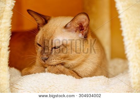 Burmese cat kitty color chocolate, is a breed of domestic cat, originating in Thailand, believed to have its roots near the present Thai-Burma. poster