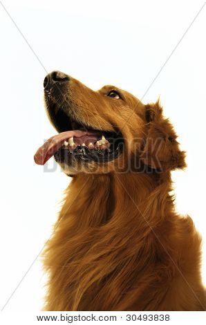 Golden Retriever Dog So Cut (close Up).