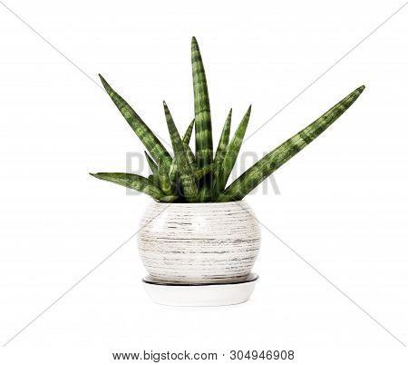 Potted Sansevieria Cylindrica Var. Patula Isolated On White Background. Sansevieria Cylindrica Also