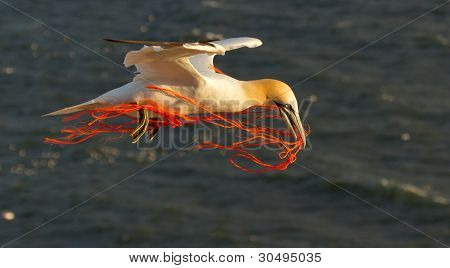 A gannet flying with a orange rope in it's beak poster