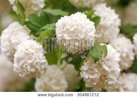 Viburnum Opulus, Water Elder, Cramp Bark, Snowball Tree And European Cranberrybush, White Flower