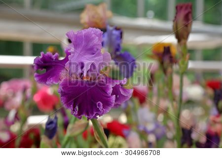 Bright Iris Bloom