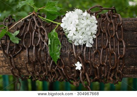 White Flower Entangled In A Rusty Heavy Chain. Difficult Situation. The Fragility Of Beauty. Concept