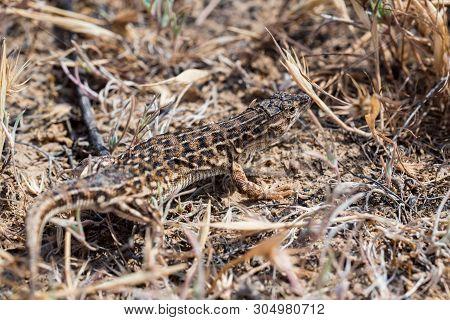Steppe Runner Lizard Or Eremias Arguta In Dry Grass Close