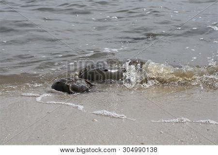 Horseshoe Crabs Mating Season At The Beach