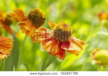 Late Summer Helenium Orange Yellow Garden Flowers In Nature. The Garden Decor Is Beautiful Bright He