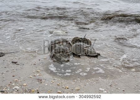 Beach With Horseshoe Crabs During Mating Season