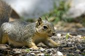 A Gray Squirrel Searching For Food on the forest floor poster