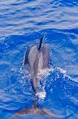 Common dolphin diving into the water showing its flipper poster
