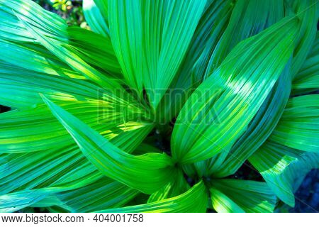 Beautiful Green Leaves For An Abstract Background. Veratrum, False Hellebore Texture Closeup.