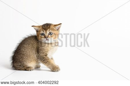 Kitten Golden Ticked British Chinchilla Straight Sits On A White Background. Cat Looking At The Came