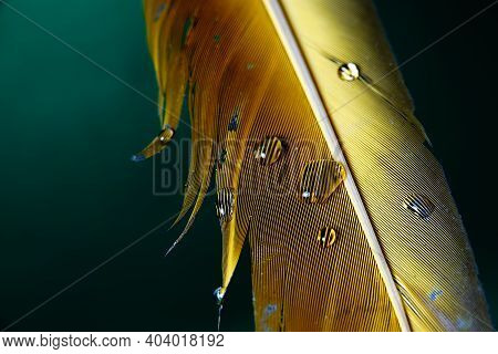 Water Droplets On Macaw Parrot Yellow Feathers On Isolated Green Backgound