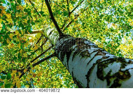 Trees In The Forest, View From Below, Birch Trees With Thin Trunks Of Autumn Foliage
