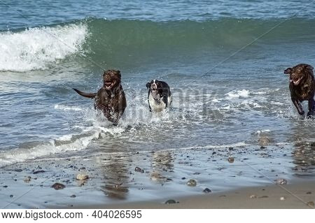 Dogs Frolicking In The Waves At Rexham Beach Marshfield Massachustetts