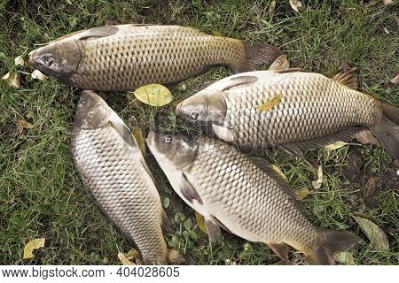 On The Grass On The River Bank Are Large Fresh Carp Caught In The River. The View From The Top